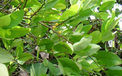 Legalización de productos de coca en Colombia: historia de una experiencia exitosa
