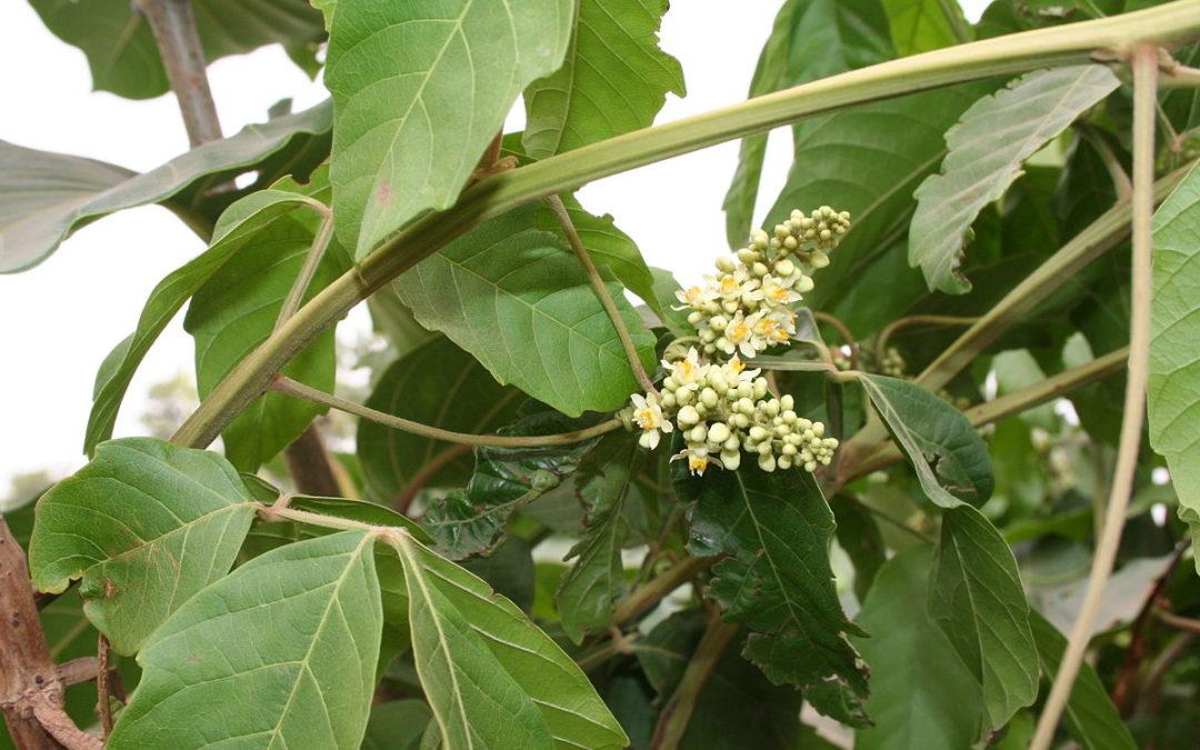 El Yoco, planta de conocimiento, protagonista del primer Santuario de Plantas Medicinales en Colombia