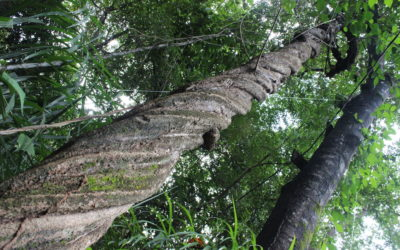 """Como preservar una ayahuasca """"enredada"""""""