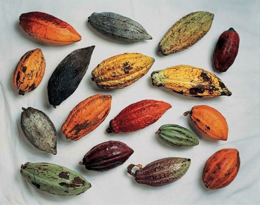 El Cacao y los Theobroma: Plantas Medicinales y Enteogenicas que Transcienden Fronteras