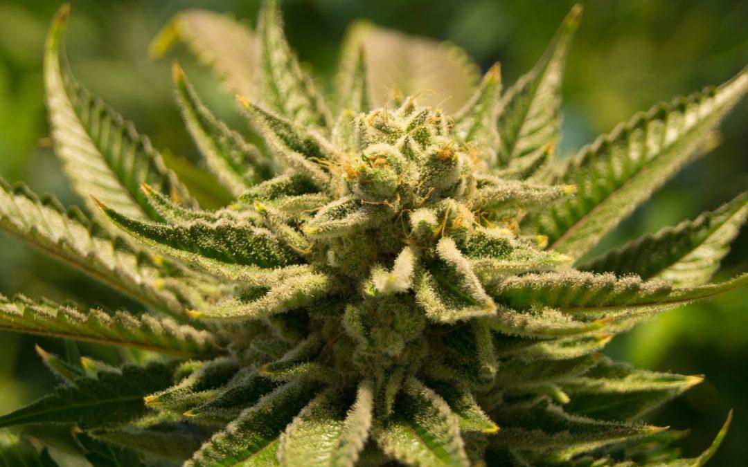 Del amparo a la legislación: proceso de deconstrucción de la prohibición del cannabis en México