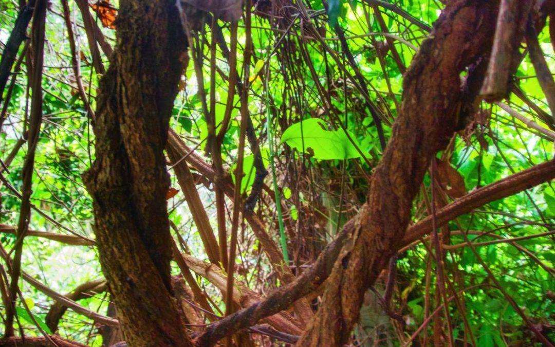 La continua globalización de la ayahuasca: una perspectiva indígena