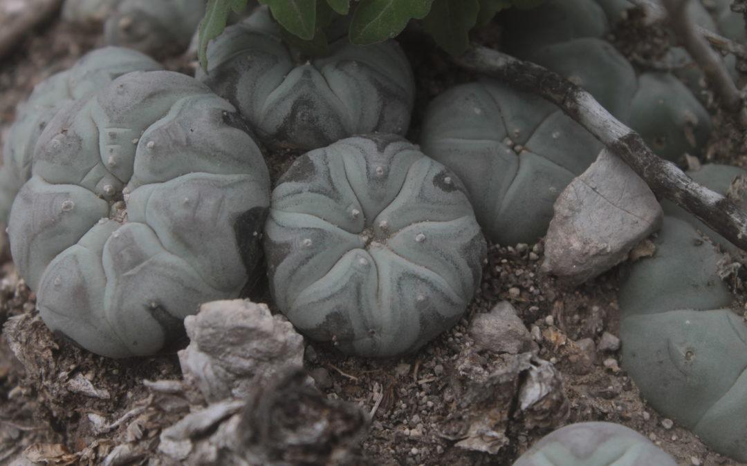 Análisis Ecológico de las Poblaciones de Peyote en el Centro Sur del Desierto Chihuahuense, México