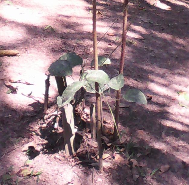 La Dieta del Muká como Transposición de Jerarquías entre los Yawanawa en Brasil