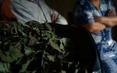 Mercantilización de la planta sagrada xka Pastora (Salvia divinorum)