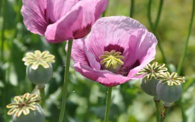 Cómo la Legislación Cambia la Percepción Acerca del Opio y sus Consumidores