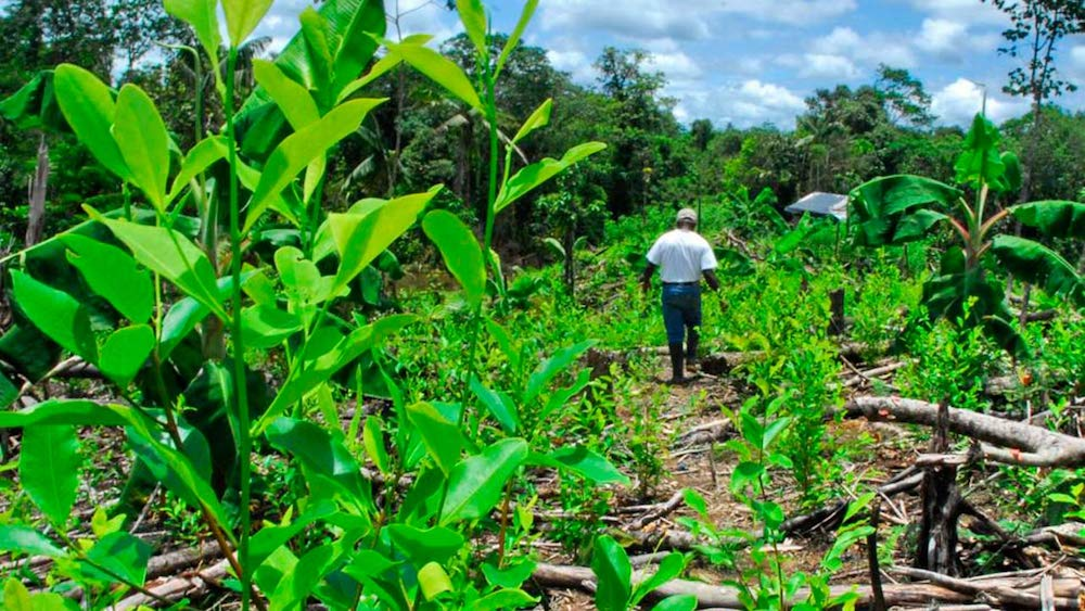 Análisis de los Impactos Ambientales del Cultivo de Coca en Colombia